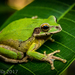 Common Mexican Tree Frog - Photo (c) Elí García-Padilla, all rights reserved