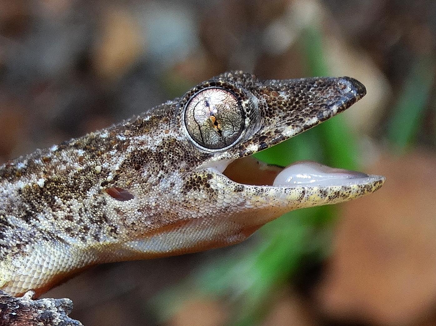 tropical house gecko (hemidactylus mabouia) · inaturalist