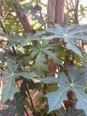 Cnidoscolus aconitifolius image