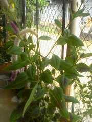 Celosia argentea image