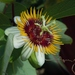 Passiflora holosericea - Photo (c) Christian Feuillet, all rights reserved, uploaded by cpfeuillet