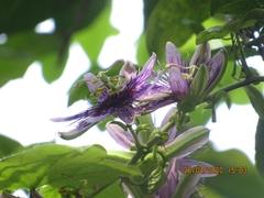 Passiflora menispermifolia image