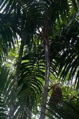 Oenocarpus mapora image