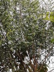 Xylopia frutescens image
