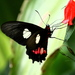 Mariposa Manchas Rojas - Photo (c) Jay Keller, todos los derechos reservados, uploaded by Jay L. Keller