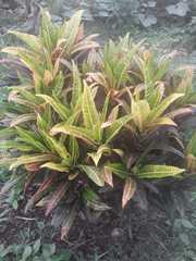Codiaeum variegatum image