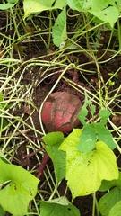 Ipomoea batatas image