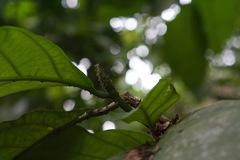 Poulsenia armata image