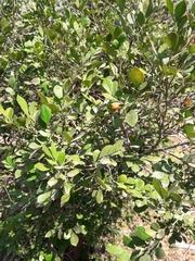Murraya paniculata image