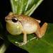 Eleutherodactylus abbotti - Photo (c) Marcos Rodriguez Bobadilla, all rights reserved