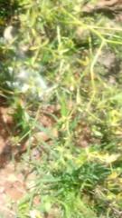Eryngium foetidum image