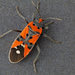 Black-and-Red Bug - Photo (c) Fero Bednar, all rights reserved