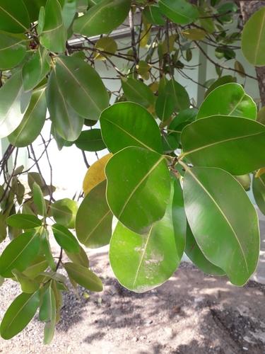 Calophyllum brasiliense image