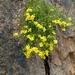 Perityle gilensis - Photo (c) Nick Vandehei, todos los derechos reservados