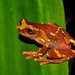 Mottled Clown Treefrog - Photo (c) pedroivosimoes, all rights reserved