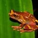 Dendropsophus sarayacuensis - Photo (c) pedroivosimoes, כל הזכויות שמורות
