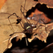 Taito insperatus - Photo (c) pedroivosimoes, todos los derechos reservados