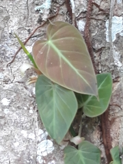 Philodendron hederaceum image