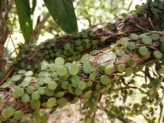Peperomia rotundifolia image