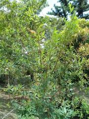 Cajanus cajan image