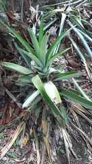 Ananas comosus image