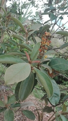 Byrsonima crassifolia image