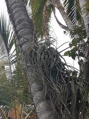 Tillandsia balbisiana image