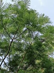 Schizolobium parahyba image