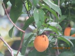 Passiflora ambigua image