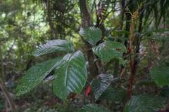 Paullinia rugosa image