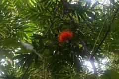 Brownea rosa-de-monte image