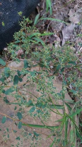 Euphorbia hyssopifolia image