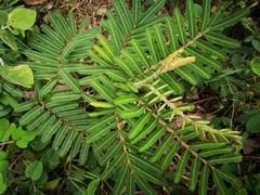 Mimosa pigra image