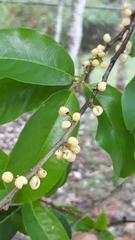 Pera arborea image