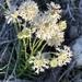 Marshallia caespitosa - Photo (c) Olivia Schmidt, כל הזכויות שמורות