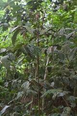 Desmopsis panamensis image