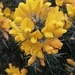 Gorse - Photo (c) Graham Banks, all rights reserved