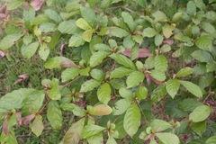Terminalia amazonia image