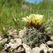 Coryphantha delaetiana - Photo (c) Cody Rudy Primero Corral, all rights reserved