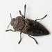 Capnodis tenebricosa - Photo (c) Konstantinos Kalaentzis, todos los derechos reservados