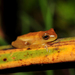 Sanborn's Tree Frog - Photo (c) pedroivosimoes, all rights reserved
