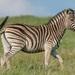 Equus quagga chapmani - Photo (c) Raphaël Nussbaumer, todos los derechos reservados