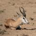 Kalahari Springbok - Photo (c) Raphaël Nussbaumer, all rights reserved