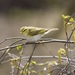 Wood Warbler - Photo (c) Murat Yenikeyev, all rights reserved
