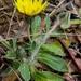 Pilosella officinarum - Photo (c) Christina, todos los derechos reservados