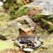 Neotropical Smooth Toads - Photo (c) aldemar, all rights reserved, uploaded by Aldemar A. Acevedo