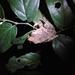 Rana Arbórea Mexicana - Photo (c) Héctor Briones, todos los derechos reservados