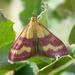 Pyrausta virginalis - Photo (c) Raniero Panfili, כל הזכויות שמורות