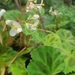 Begonia plebeja - Photo (c) Katherine K Sánchez G, todos los derechos reservados