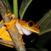 Map Tree Frog - Photo (c) Andrew Snyder, all rights reserved, uploaded by asnyder5